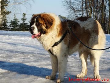 Moskevský strážní pes - štěňata bez