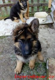Německý ovčák - štěnátka