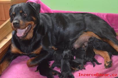 Rottweiler štěňata s pp