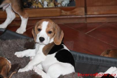 Bígl (beagle) - krásná štěňátka