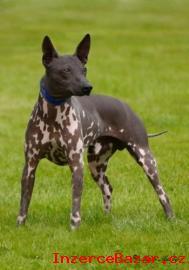 Krycí pes, Americký bezsrstý teriér