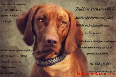 Maďarský ohař, štěně