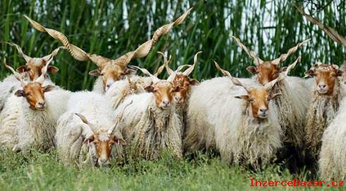 Hortobagy ovce Racka