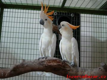 Nabídka  kakadu papoušci