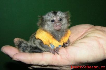 Marmoset Opice