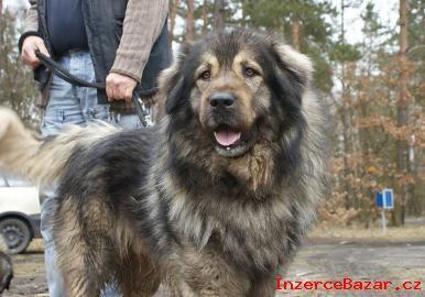 Šarplaninský pastevec.  pes štěňátka