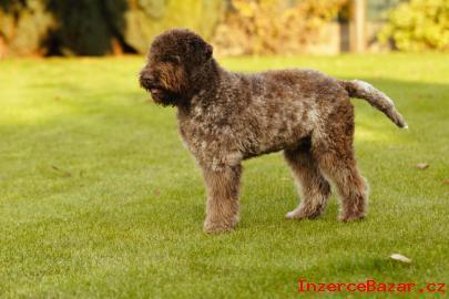 Predám psa Lagotto Romagnolo s PP