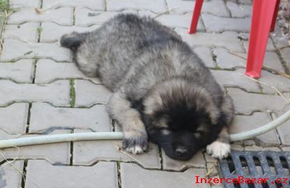 Šarplaninský pastevecký pes - s PP