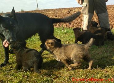 Německý ovčák - štěňata