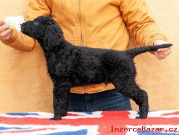 Curly Coated Retriever štěně pejsek s PP