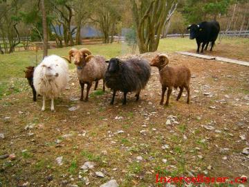 Nabízíme mini ovce plemene Scudo