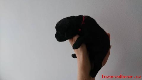 Labradorský retrívr - štěňata s PP