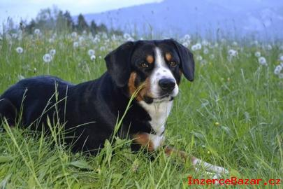 Entlebuchský salašnický pes