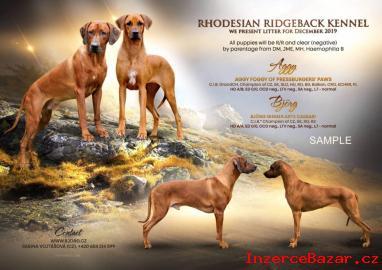 Rhodéský ridgeback - štěňátka s PP