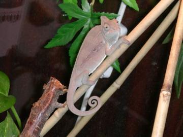 Chameleon jemenský a gekončík noční