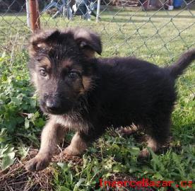 Něm.  ovčák - štěnátka s PP