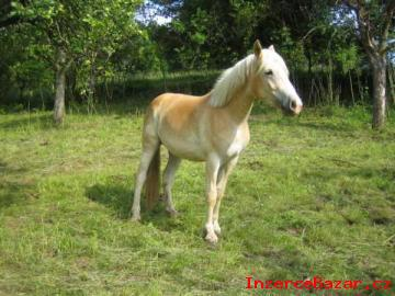 Quarter Horse hřebec, 3 roky, hnědý, bez
