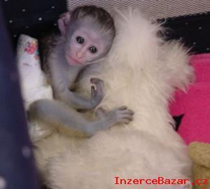 Dostupný Kapucínský opice