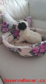 Yorkšírský terrier s PP