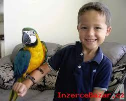 Dostupný Ara Ararauna papoušci
