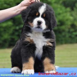 Bernský salašnický pes - štěňátka s PP