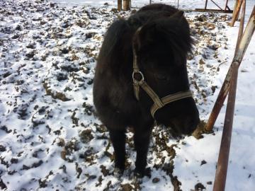 Shetlandský pony