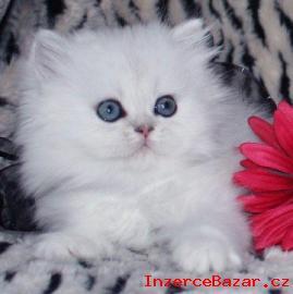 Samec a Samice perské kotata pro  přijet