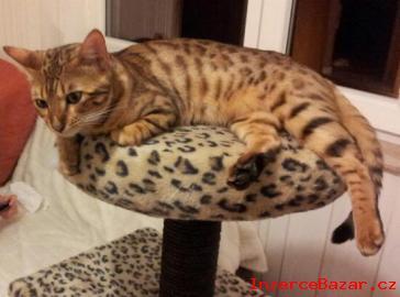Bengálská kotata s PP prodám