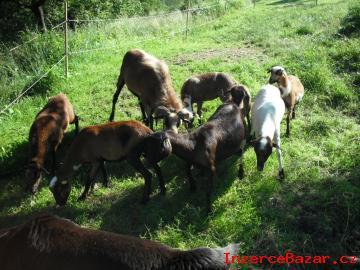 Kamerunské ovečky