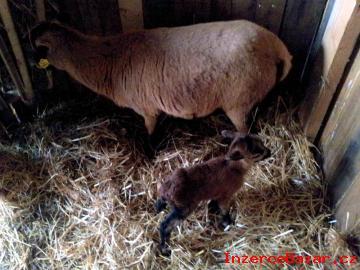 Kamerunská ovce