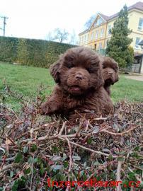 Novofundlandský pes - hnědá štěňata psi