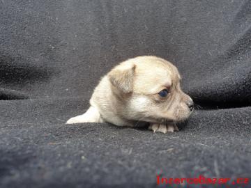 Čivava - štěňata s PP krátkosrstá