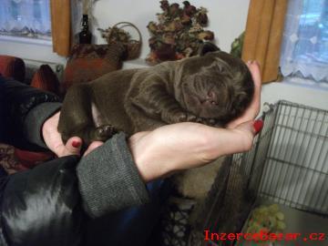 Labradorský retrívr - štěňátka