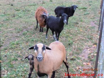 Prodám kamerunské ovce