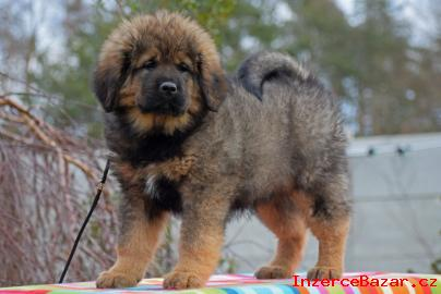 Tibetská doga - štěňátka s PP