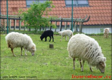 Ouessantská (quessantská) ovce na prodej
