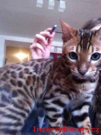 Bengálské kotě s PP prodám