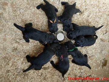 Knírač velký černý- štěňata s PP