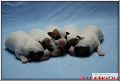 Jack Russell Teriér - nádherná štěňátka