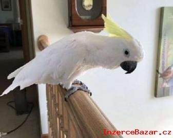 Prodám kakadu papoušci