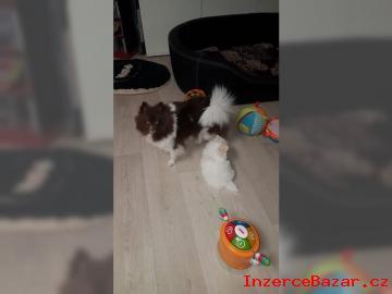 Pomeranian/Trpasličí špic štěňata