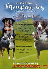 Appenzellský salašnický pes s PP