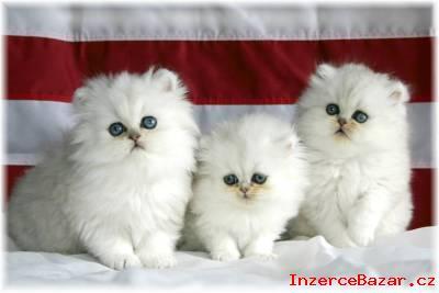 Samec a Samice perské kotata pro přijetí